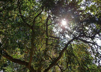 100-jarige-buxusbomen
