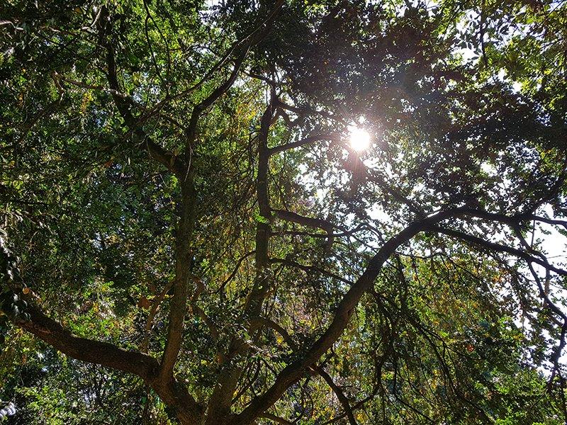Meer dan 100 jaar oude buxusbomen