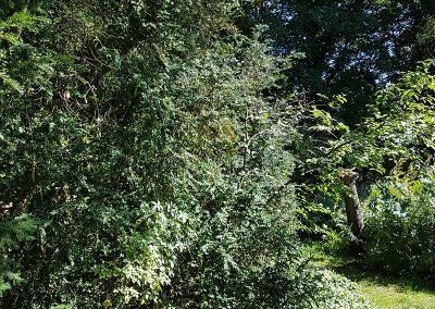 100-jarige-buxusbomen1