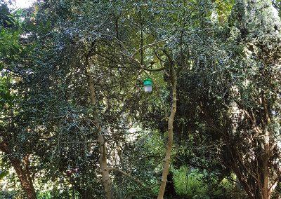 100-jarige-buxusbomen2