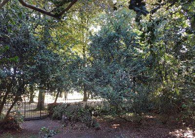 100-jarige-buxusbomen5